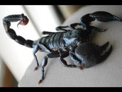 What is a Emperor Scorpion?