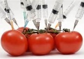 What are the risks to consuming GMO's?