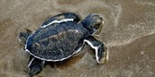 Black Turtle new-born