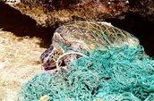 Turtle tangled up