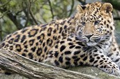 What are Amur Leopards?