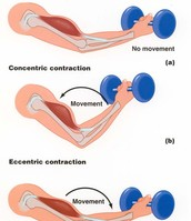 Isotonic Muscle Contractions