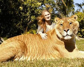 A Liger with his female companion