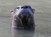 a picture of an otter at the edge of the pamlico sound