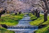 Cherry Blossom Festivle