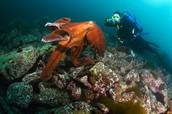 Sylvia Earle with an octopus