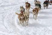 Huskies on the move.