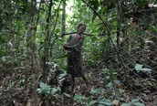 Mbuti Setting up Animal Traps using Nets