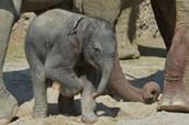 Le éléphanteau à la Zoo