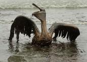 Oil Kills Amimals