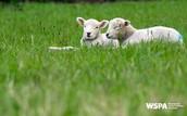 Four sheep, One crime