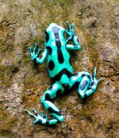 A light blue poison dart frog
