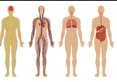 All the body system together work together to make an organism.