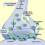 Tegmental Area of the Brain