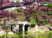 A bridge Surrounded by cherry blossoms at The Japanese Gardens