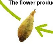 The flower produces a fruit