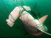 Shark stuck in fishing net