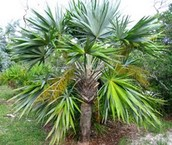 Key Thatch Palm