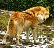The Red Wolf's Coat