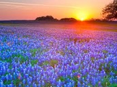 A sunset over a field of blue bonnets