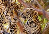 The Jaguars