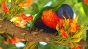 Protect the Rainbow Lorikeets