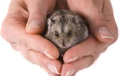 The hamster is small and cute.