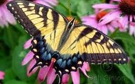 Tiger Swallowtail butterfly!