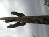 Saguaro Cactus!