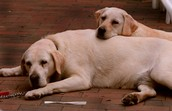 The most popular breed of dog in the U.S in 2015 is   the labrador.