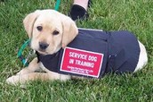 *Here is an Allergy Alert Service Dog in training*