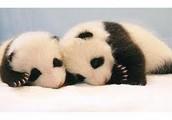 When a Panda is an Baby