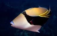 Humu Rectangle Triggerfish