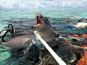 This is a Sea Lion trapped in litter