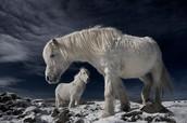 Icelandic horses in winter coat