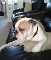 Obi the Bulldog