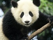 It's up to you to save these Giant Pandas.