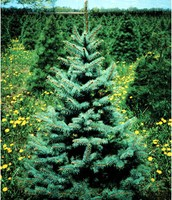 State Tree-White Pine