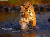 This is a tiger in the water.