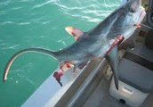 Thresher shark are being killed EVERY DAY