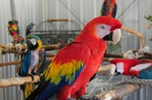 !Adult Scarlet Macaw!