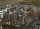 Hippos Courtship dances