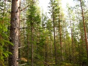 This is the Boreal Forest it is located in North America and Canada