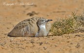 What are Houbara and where do they live ?