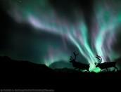 Bull Caribou in Alaska