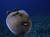 Guineafoul puffer fish