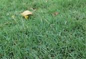 Bramuda grass picture
