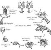 Life Cycle of Crayfish