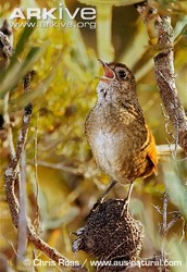 What is the Western BristleBird?