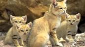 Sand cat family